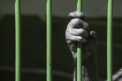 Chimp in l prison Royalty Free Stock Photography