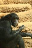 Chimp monkey animal Stock Images