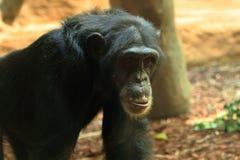 Chimp monkey animal Royalty Free Stock Photography