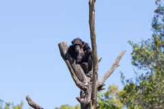Chimp monkey on a tree over blue sky Royalty Free Stock Photography