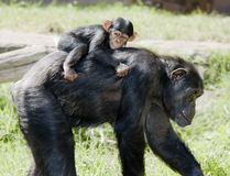 Chimp mother with baby on back. Chimpansee with baby our closest relatives Royalty Free Stock Photos