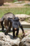 Chimp mother and child. Walking together - look from behind Stock Images
