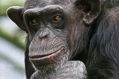 Chimp Philosopher. Sad Chimpanzee thinking about his life Stock Image