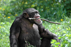 Chimp Playing Royalty Free Stock Images