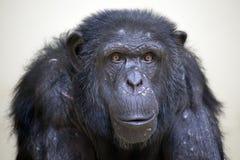 Chimp Stock Image
