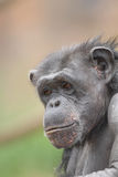 Chimp Profile Royalty Free Stock Images