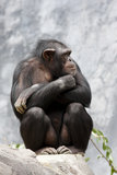 Chimp on a rock Stock Photo