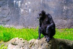 Chimp on a rock royalty free stock images