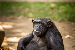 Chimp. Sad chimp portrait in a zoo Royalty Free Stock Photos