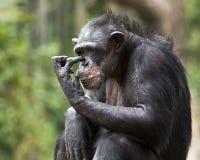 Chimp scratching Stock Image