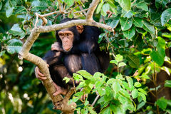 Chimp on sentry duty. Observant chimpanzee watching proceedings closely Stock Images