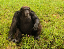 Chimp sitting on grass Stock Images