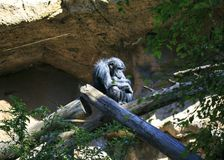 Chimp sleeping in a tree.  Stock Photo