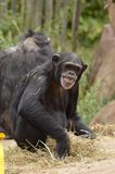 Chimp smile Royalty Free Stock Image