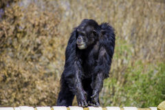 Chimp Smiling Stock Image