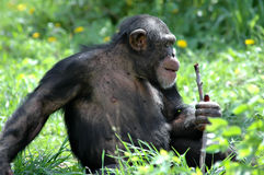 Chimp and Stick stock photography