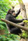 chimp on tree Stock Photos