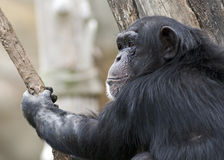 Chimp in a tree Royalty Free Stock Image