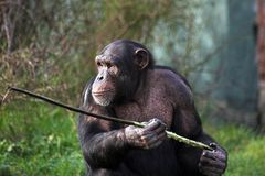 Chimp using a stick Stock Photography