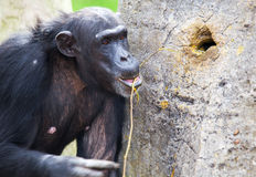Chimp using tools. Common chimpanzee, Pan troglodytes (West and Central Africa Stock Image