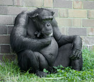 Chimp and wall Royalty Free Stock Photos