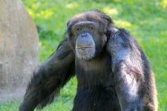 Chimp at zoo stock photos