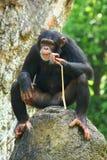 Chimpancé foto de archivo