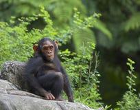Chimpancé Fotografía de archivo