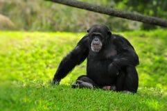 Chimpancé Imagenes de archivo