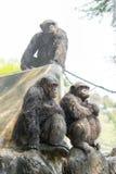 Chimpancé, Bangkok, Tailandia Fotos de archivo