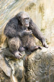Chimpancé, Bangkok, Tailandia Fotos de archivo libres de regalías