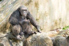 Chimpancé, Bangkok, Tailandia Imágenes de archivo libres de regalías