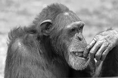 Chimpancé blanco y negro. Fotografía de archivo