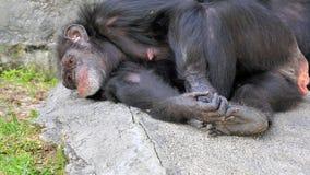 Chimpancé cansado Fotografía de archivo libre de regalías