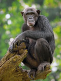 Chimpancé común Imagen de archivo libre de regalías