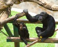 Chimpancé común - trogloditas de la cacerola foto de archivo libre de regalías