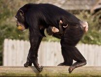 Chimpancé con el bebé Imagenes de archivo