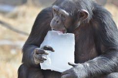 Chimpancé con el hielo 2 Fotografía de archivo libre de regalías