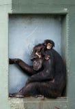 Chimpancé del bebé Imagen de archivo libre de regalías