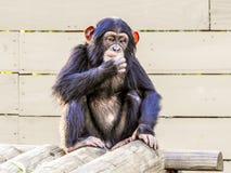 Chimpancé del bebé que se sienta comtemplando próximo paso en un parque zoológico de la Florida Foto de archivo