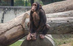Chimpancé del bebé que se sienta en un tronco de un árbol Imagen de archivo