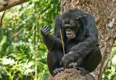 Chimpancé en árbol Fotografía de archivo