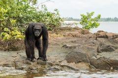 Chimpancé en el borde de las aguas Foto de archivo