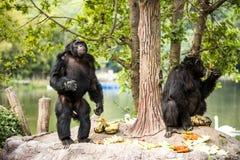 Chimpancé en el chiangmai Tailandia del chiangmai-nightsafari Imagenes de archivo