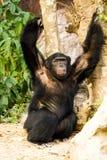 Chimpancé en el chiangmai Tailandia del nightsafari Fotos de archivo libres de regalías