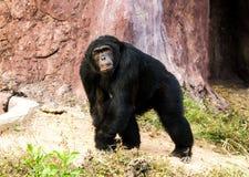 Chimpancé en el chiangmai Tailandia del nightsafari Foto de archivo