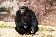 Chimpancé en el chiangmai Tailandia del nightsafari Imagen de archivo