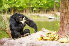 Chimpancé en el chiangmai Tailandia del nightsafari del chiangmai Foto de archivo