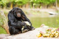 Chimpancé en el chiangmai Tailandia del nightsafari del chiangmai Fotografía de archivo