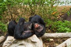 Chimpancé en el chiangmai Tailandia del nightsafari del chiangmai Fotografía de archivo libre de regalías